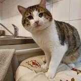 Nooby, Chat européen à adopter