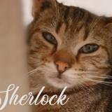 Sherlock, Chaton européen à adopter