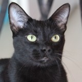 Onyx chat noir de 2 ans 1/2, Chat à adopter