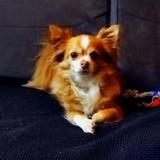 Foxy, Chien chihuahua à adopter