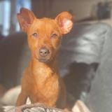 Penee, Chien à adopter