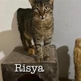 Risaya sterilisee a sauver de sotchi, Chat à adopter