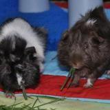 Volt et bolide, cochons d'inde mâles, Animal à adopter