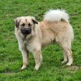 Peps, Chien eurasier à adopter