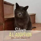 Silver, Chat européen à adopter