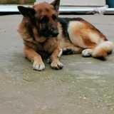 Onyx, Chien berger allemand à adopter