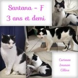 Santana, Chat à adopter