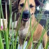 Loni, jeune chienne croisée créole, Chien à adopter