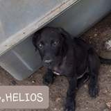 Helios, Chiot à adopter