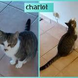 Charlot, Chat européen à adopter