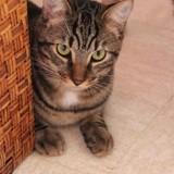 Hopi junior de 9 mois, Chaton à adopter