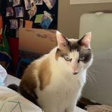 Jackson, Chat ragdoll, européen à adopter