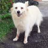 Bekkie, chienne adulte spitz allemand, petit gabarit, Chien à adopter