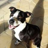 Dalton, chien mâle junior croisé créole,, Chiot à adopter