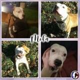 Moka, Chien american staffordshire terrier, bouledogue français à adopter