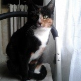 Lylou, Chat européen à adopter