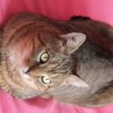 Chamiaou chat tigré de 4 ans, Chat à adopter