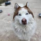Bakounine, Chien husky sibérien à adopter