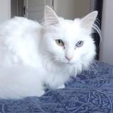 Bella, Chat angora turc, européen à adopter