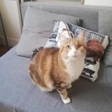 Tishka femelle marron/blanc de 2 ans, Chat à adopter