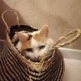 Chipie, Chat européen à adopter