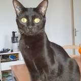 Pythagore chat noir de 1 an, Chat à adopter