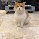 Justin et vuitton, Chat maine coon, british longhair à adopter