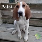 Patsi, Chiot chien de saint-hubert à adopter