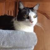 Jacob chat blanc/smoke de 4 ans, Chat à adopter