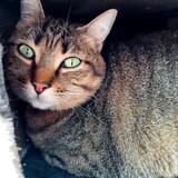 Maria, Chat européen à adopter