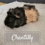 Chantilly, Animal à adopter
