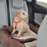 Chipie, Chien caniche à adopter