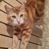 Cosmo, Chat à adopter