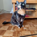 Cahya, Chat à adopter