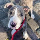 Rex, Chiot dogue argentin à adopter