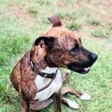 Iris, jeune chienne croisée créole, Chien à adopter