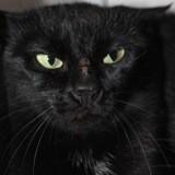 Savannah, Chat européen à adopter