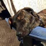 Bandit, jeune chien mâle croisé créole, Chiot à adopter