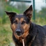 Nochou, Chien berger allemand à adopter