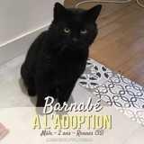 Barnabé, Chat européen à adopter