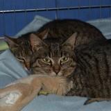 Savane/ reglisse, Chat à adopter
