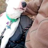 Redbull, Chien bull terrier à adopter