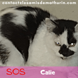 Cali, chamallow, capucine, Chat à adopter