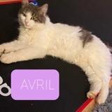 Avril, Chat européen à adopter