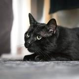 Milu, Chat à adopter