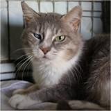 Sybelle, Chat européen à adopter