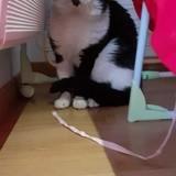 Scofield, Chat européen à adopter