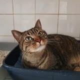 Fripouillon, Chat européen à adopter