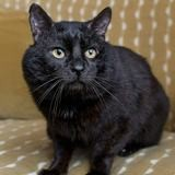 Figaro, Chat à adopter