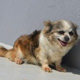 Happy, Chien chihuahua à adopter